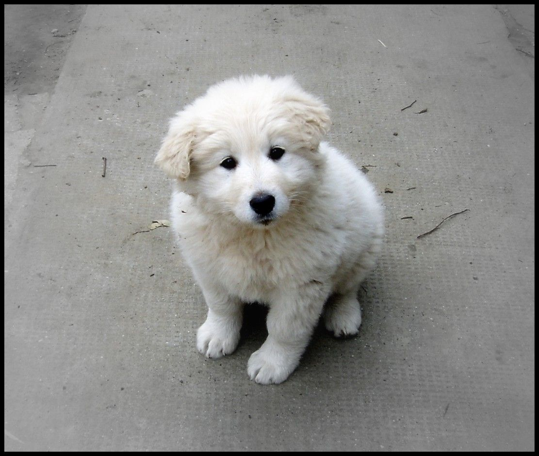 Hungarian Kuvasz Puppy Google Search Dog Breeds Puppies