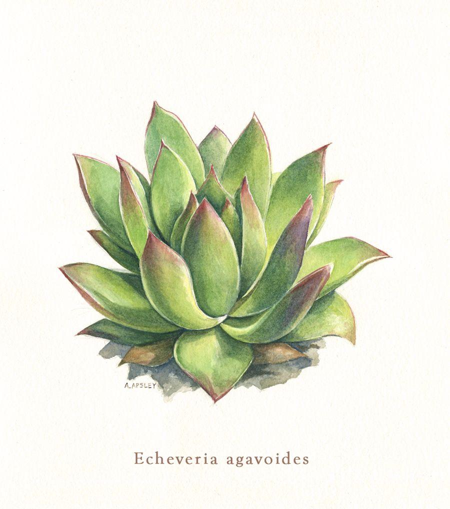 Watercolor Botanical Illustration Echeveria Agavoides Avec