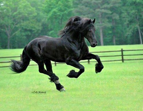 Friesian horses running pictures