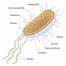 A Bacterium Is Unicellular And Has A Single Dna Molecule