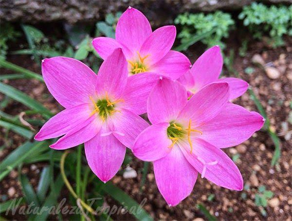 Flor brujita rosada nombre popular de zephyranthes rosea for Viveros ornamentales definicion