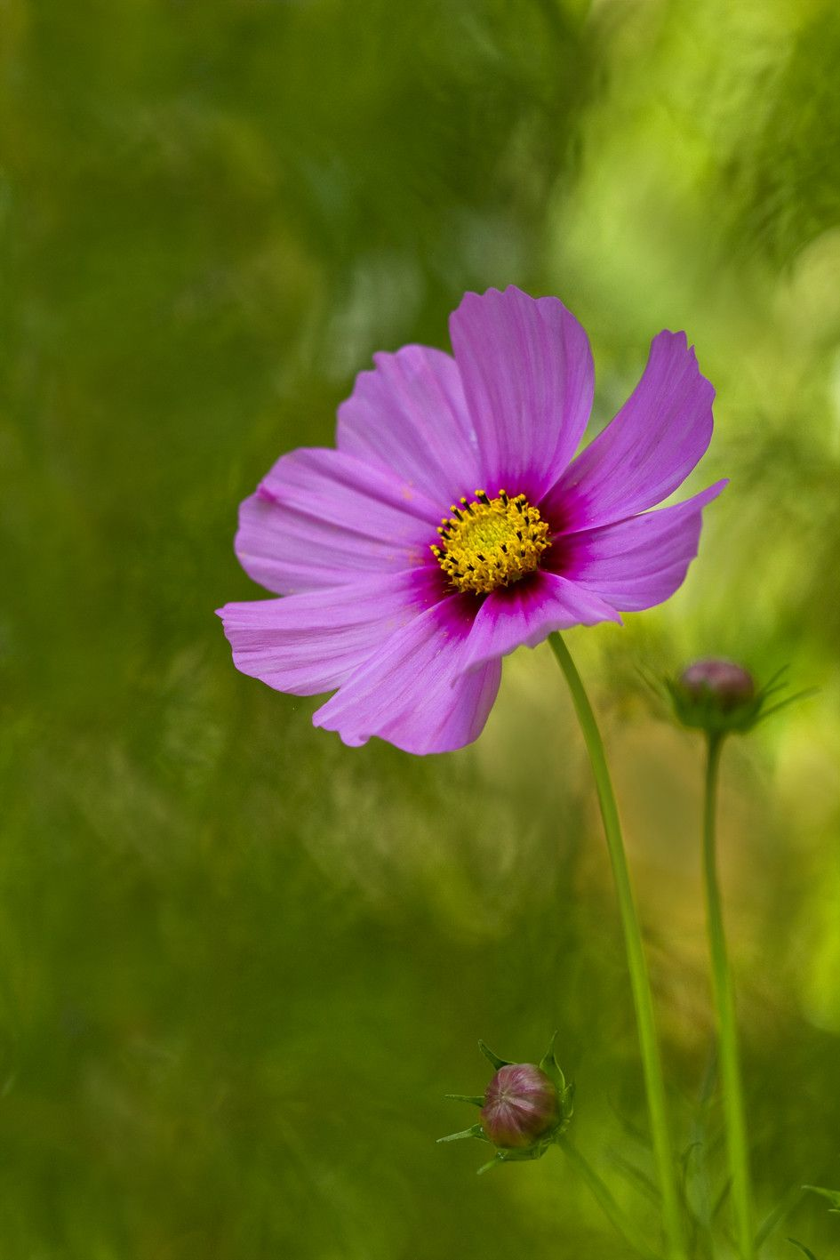 Pink Cosmos Cosmos Flowers Cosmos Beautiful Flowers
