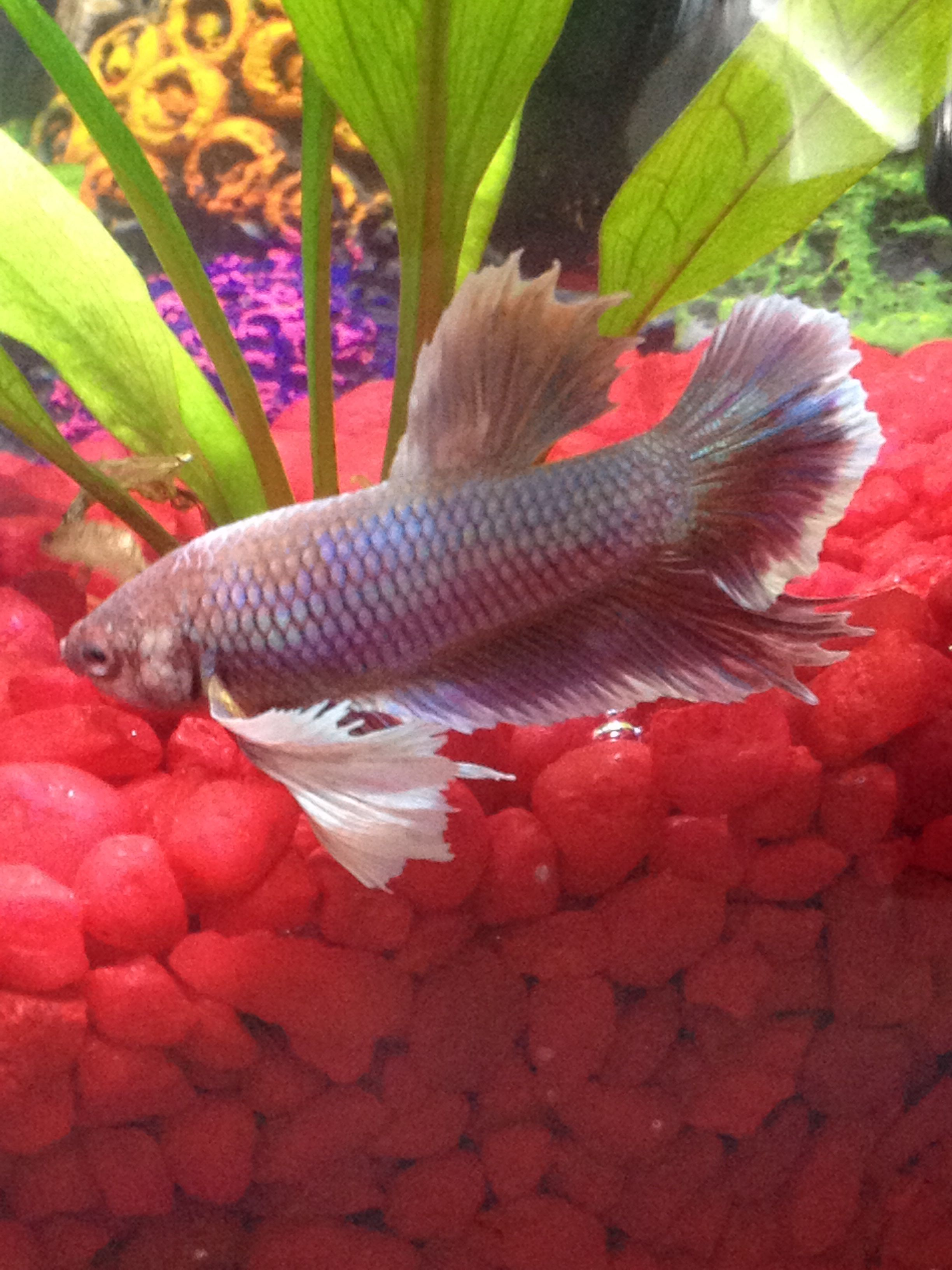 Dumbo (Elephant Ear) Betta: This variety has very enlarged pectoral ...