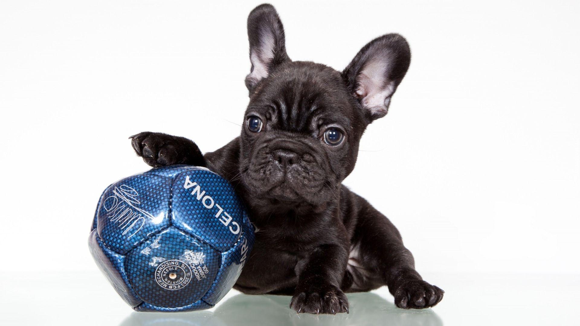 Buldog Francuski Czarny Szczeniak Piłka Tapety Zwierzęta