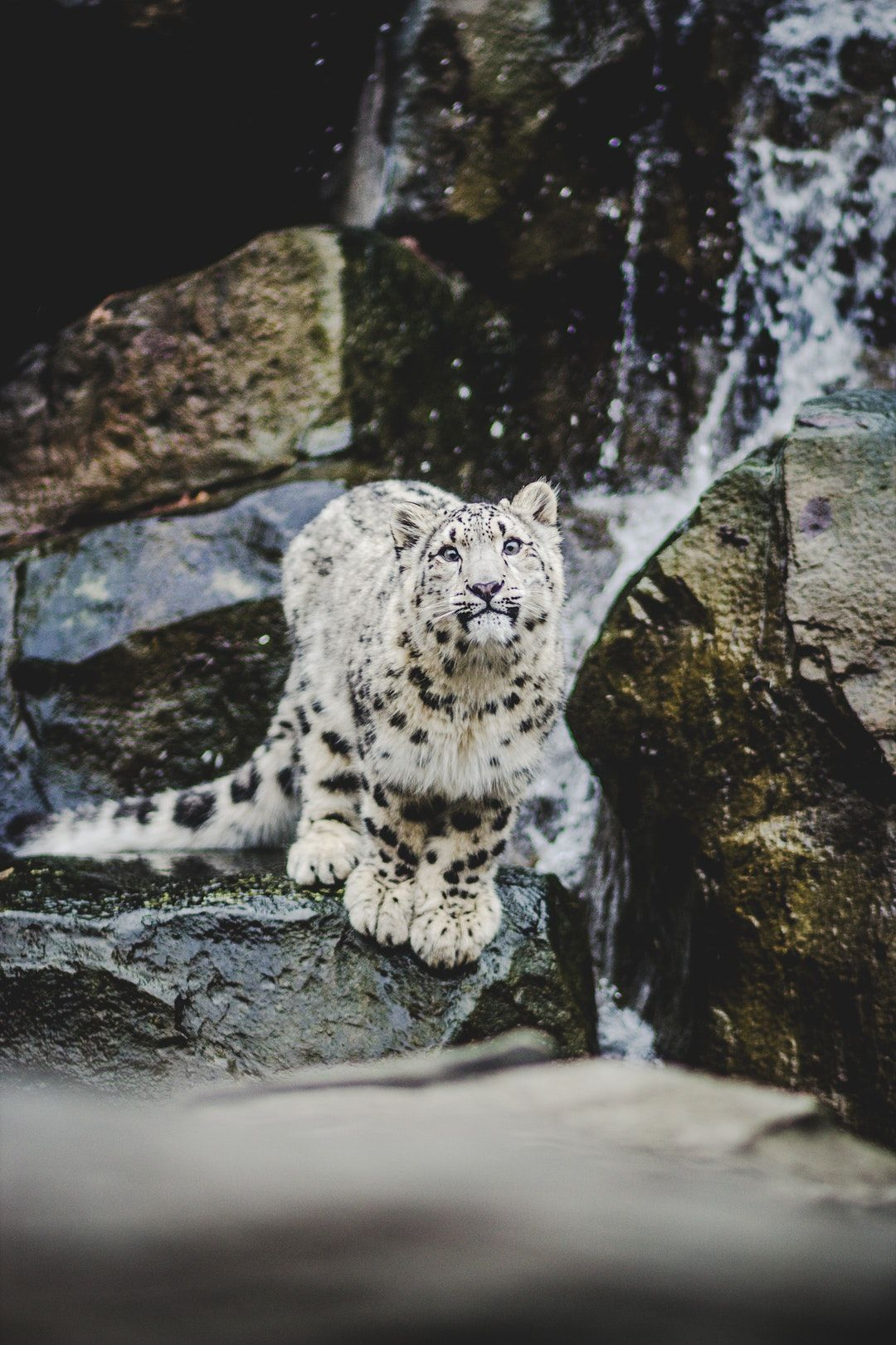 Hd Photo By Helena Lopes Wildlittlethingsphoto On Unsplash Leopard Pictures Snow Leopard Pictures Snow Leopard