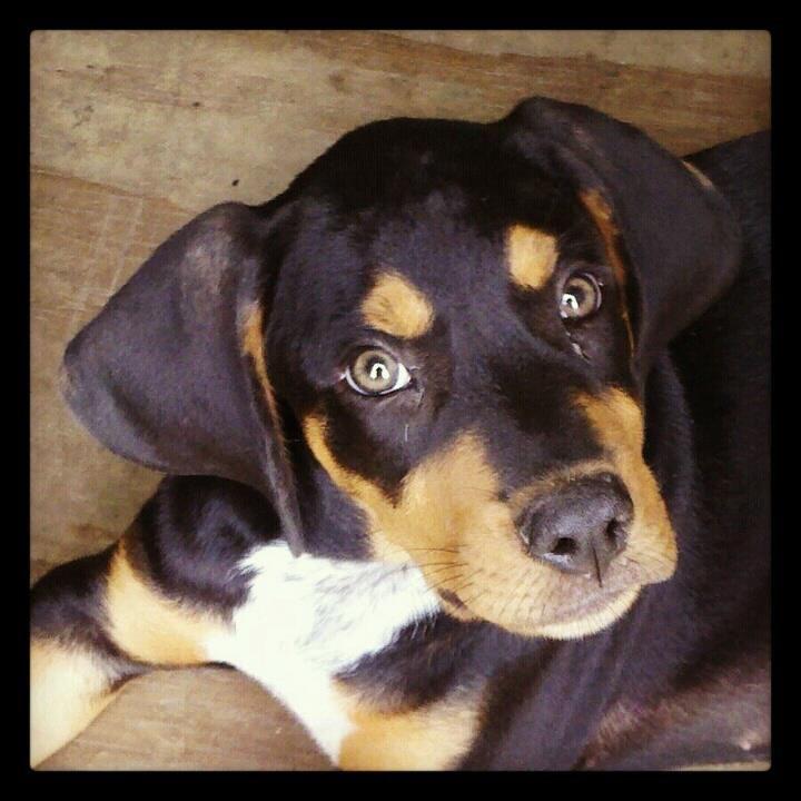 Toro Part Bluetick Hound And Rottie Rottie Dogs Animals
