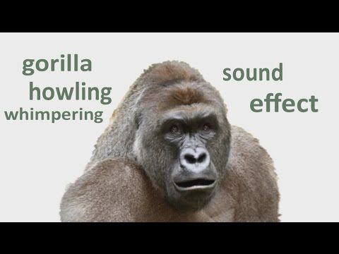 the animal sounds gorilla howling whimpering sound effect