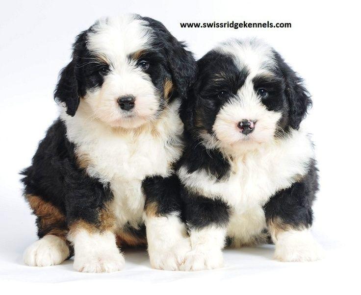 Mini Bernedoodle Google Search Bernedoodle Puppy Cute Animals Bernedoodle