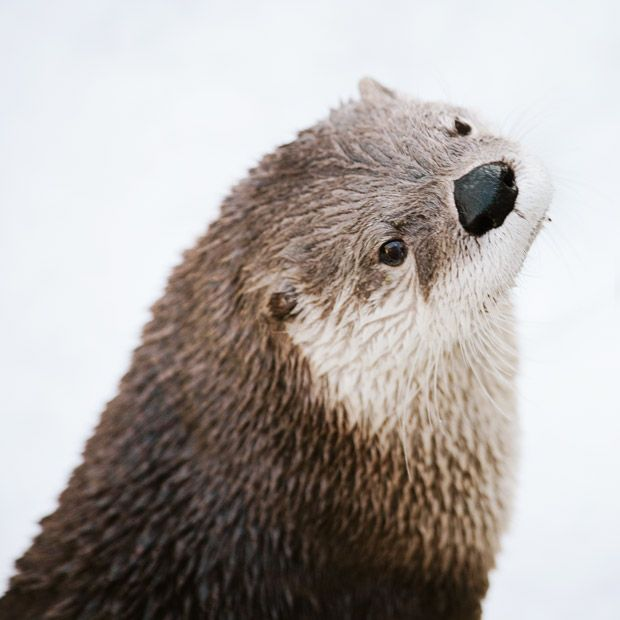 I Always Wanted A Pet Otter Otters Animals Nature Animals