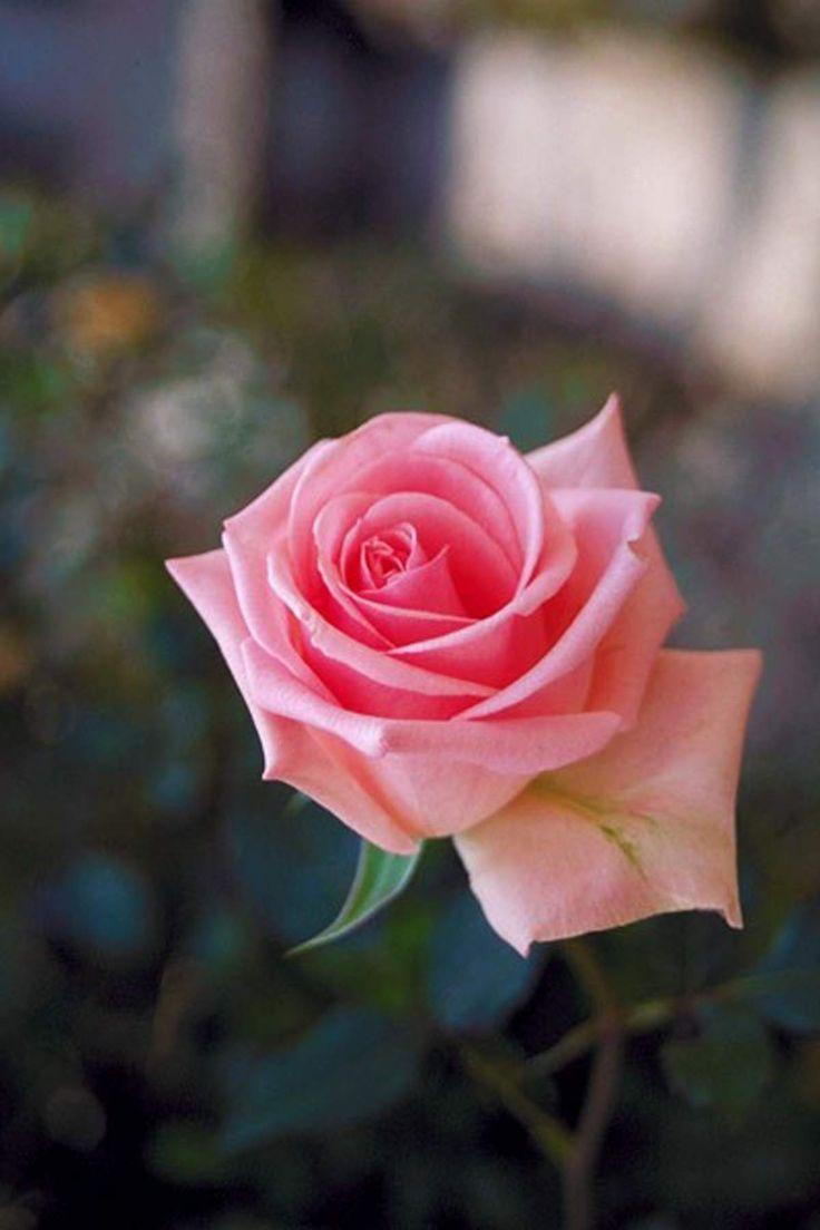 rose tumblr - Pesquisa Google