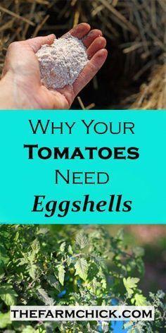 Tomaten leidet Blütenendfäule? Erfahren Sie, wie Sie Ihre eigenen Eischalen zu speichern um das Problem zu bekämpfen und wachsen schöner Tomaten und Paprika!