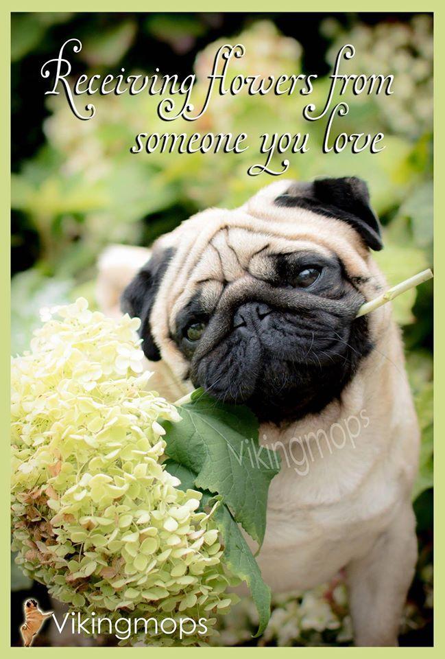 Https Www Facebook Com Vikingmops Pug Love Pugs Pug Life