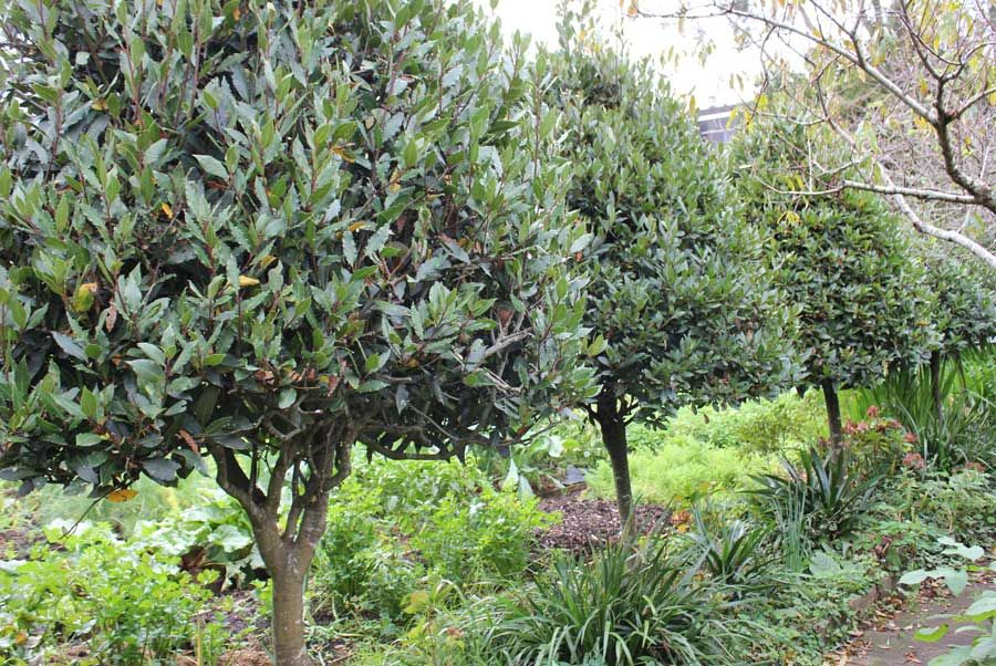 Image Result For Bay Laurel Tree Container