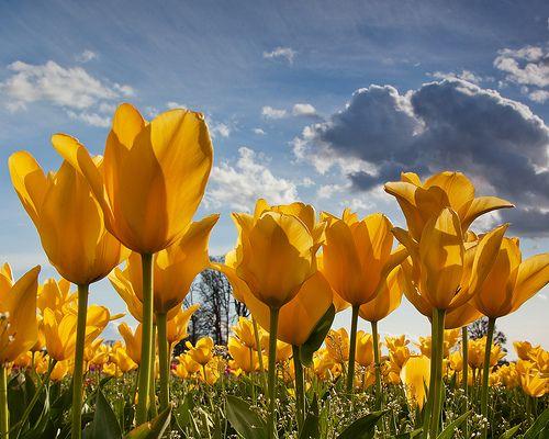 #Yellow #tulipfield (photo by #stokesRX)
