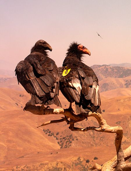 California Condor Los Angeles Zoo And Botanical Gardens California Condor Endangered Animals Beautiful Birds
