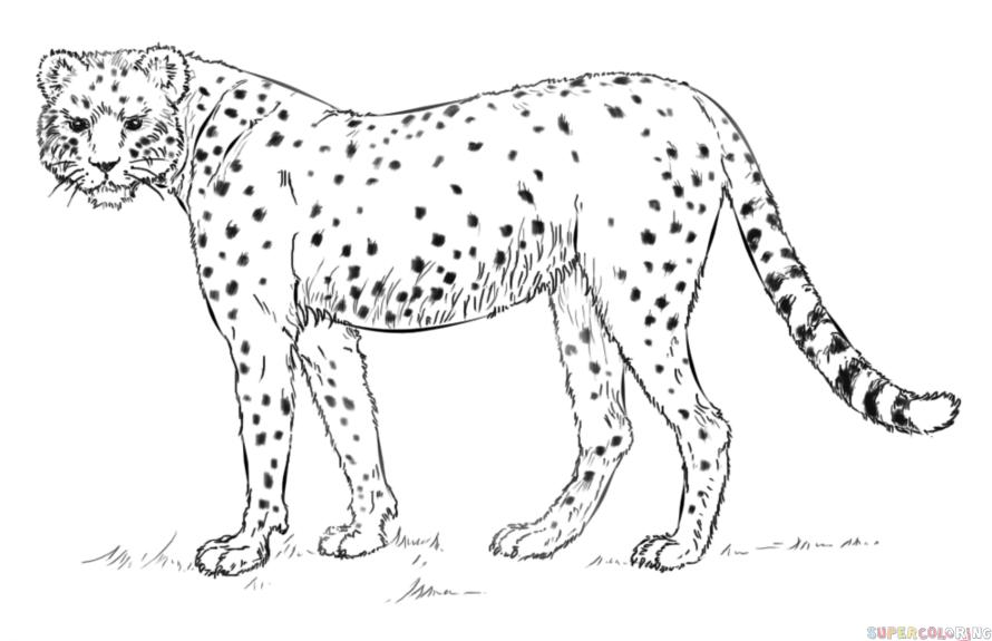 Cheetah Drawing For Kids