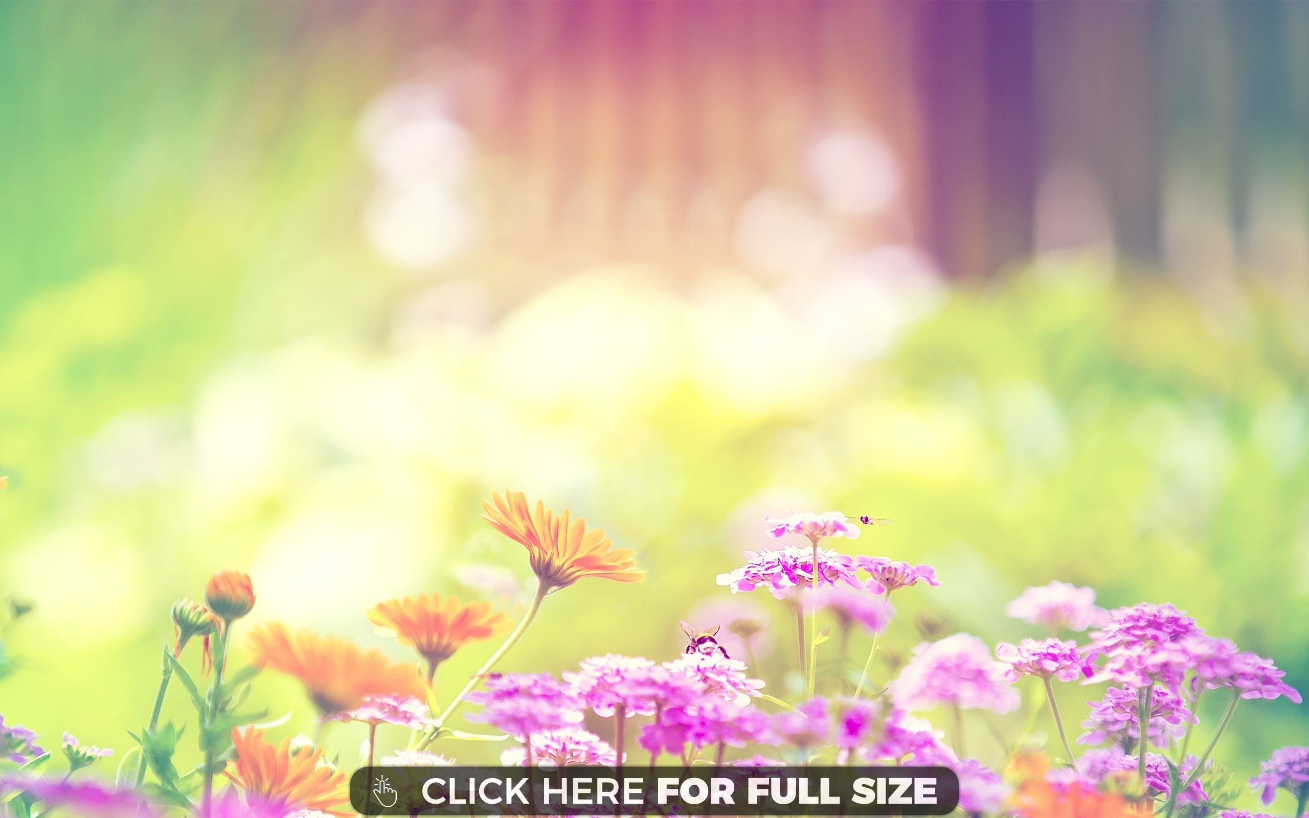 daisy twins immortality photography image flower wallpaper
