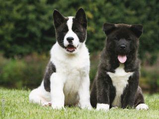 akitas puppies <3 :)
