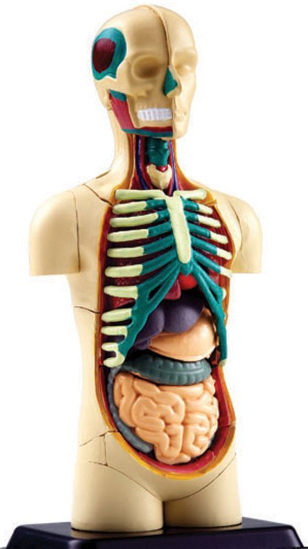 4d Human Body Torso Anatomy Model Rainbow Resource Center