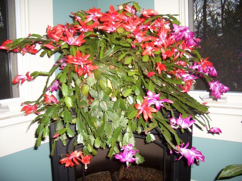 My 2tone Christmas Cactus. Christmas cactus, Mother