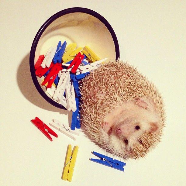 Darcy, The Flying Hedgehog