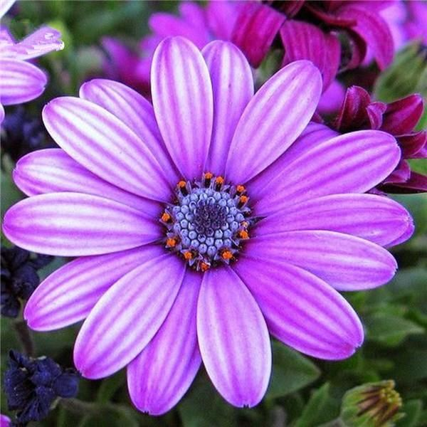 Egrow 30Pcs/Pack White Purple Miracle Daisy Seeds Mix Color Bonsai Plants Ornamental #bonsaiplants