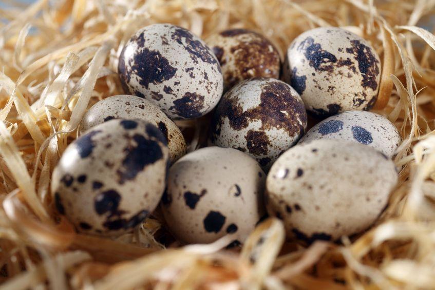 Japanese quail eggs check more at https