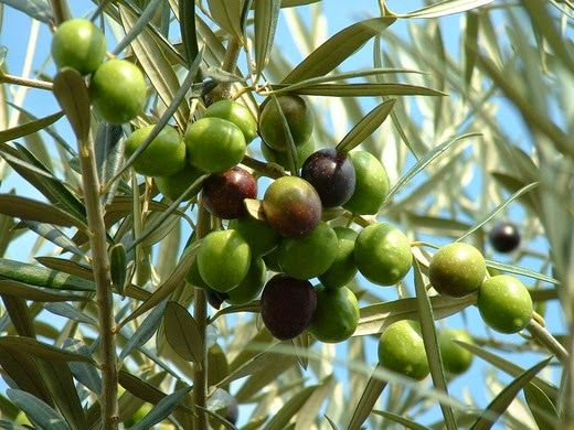How To Grow An Olive Tree From Seed Growing Olive Trees Tree