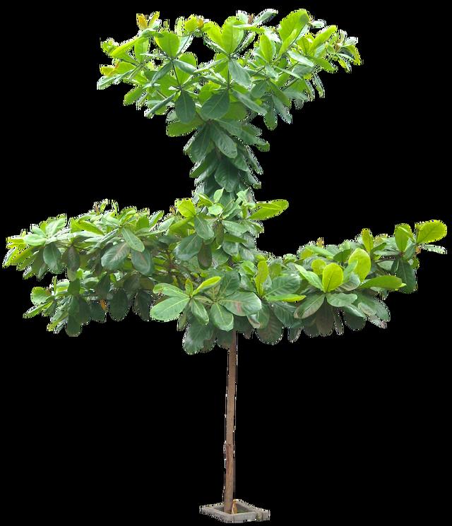 20 im genes de rbol png terminaliacattapa05l tree for Arbol interior