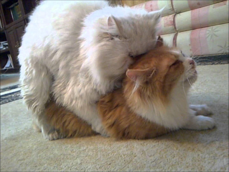 تزاوج بيكي فيس ون فيس قطط على سنابي Hassan Zzzz قطط حسن Kittens Cutest Animals Kittens
