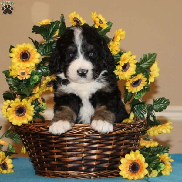 Flyer Bernedoodle Puppy For Sale In Pennsylvania Bernedoodle Puppy Puppies Puppies For Sale
