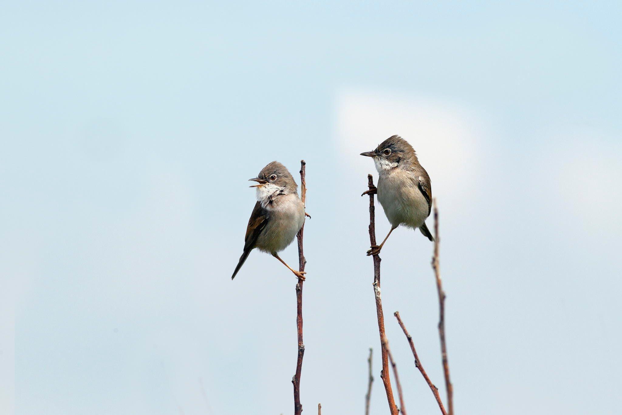 singing bird - small birds singing