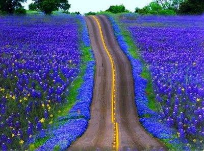 Art Bluebonnets. love-is-blue