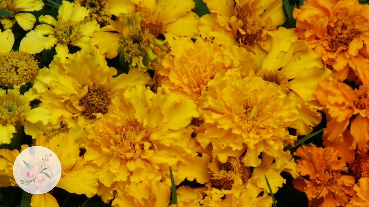 How to Grow Marigolds from Seed Growing Flowers from Seed