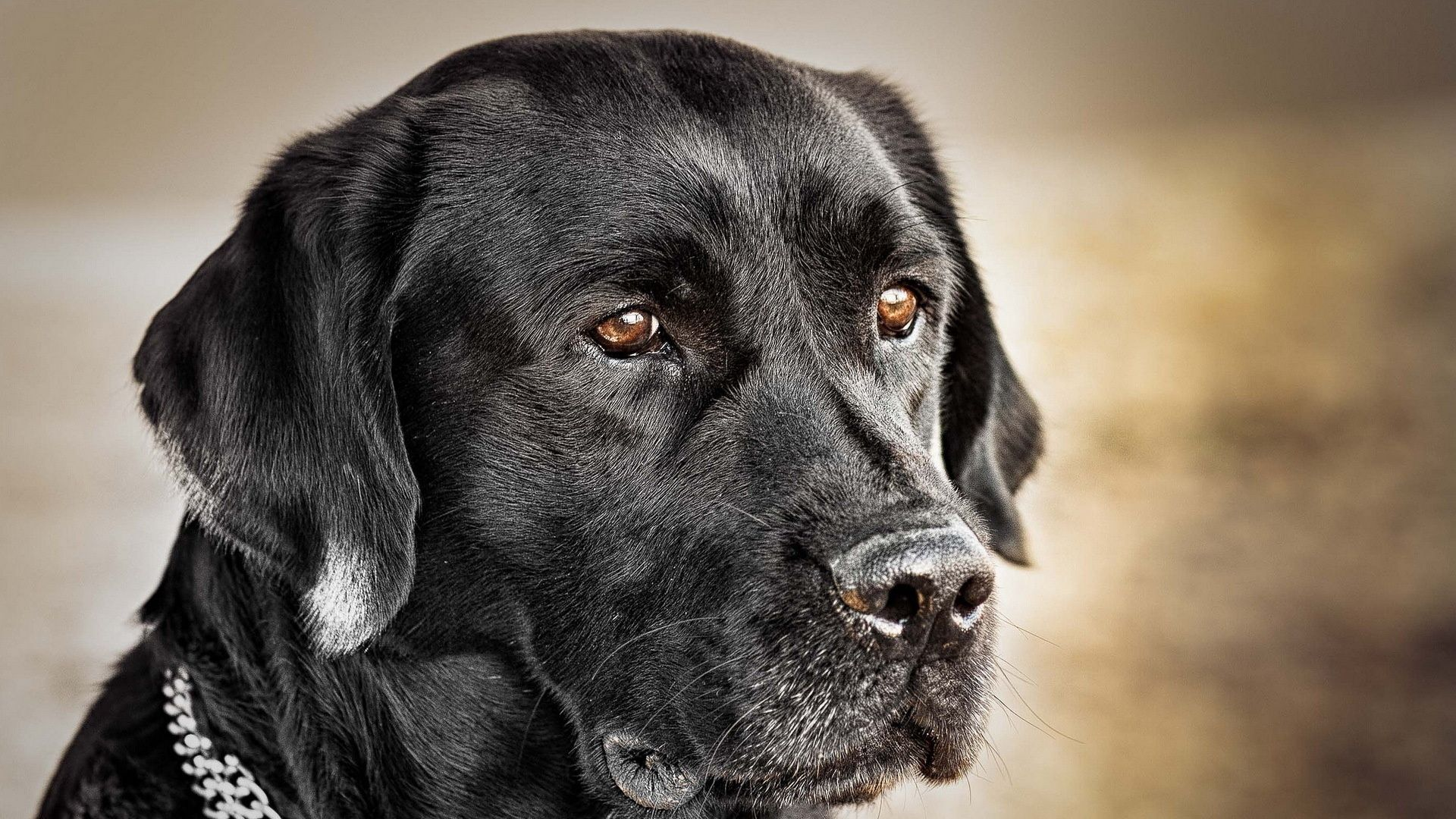 black dog hd wallpapers - free download latest black dog hd