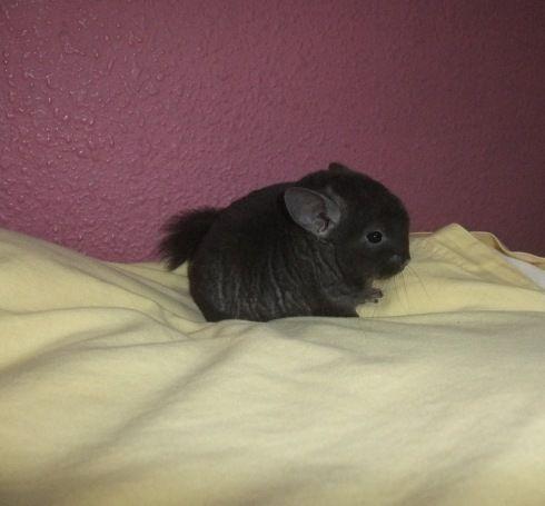 Medium ebony chinchilla