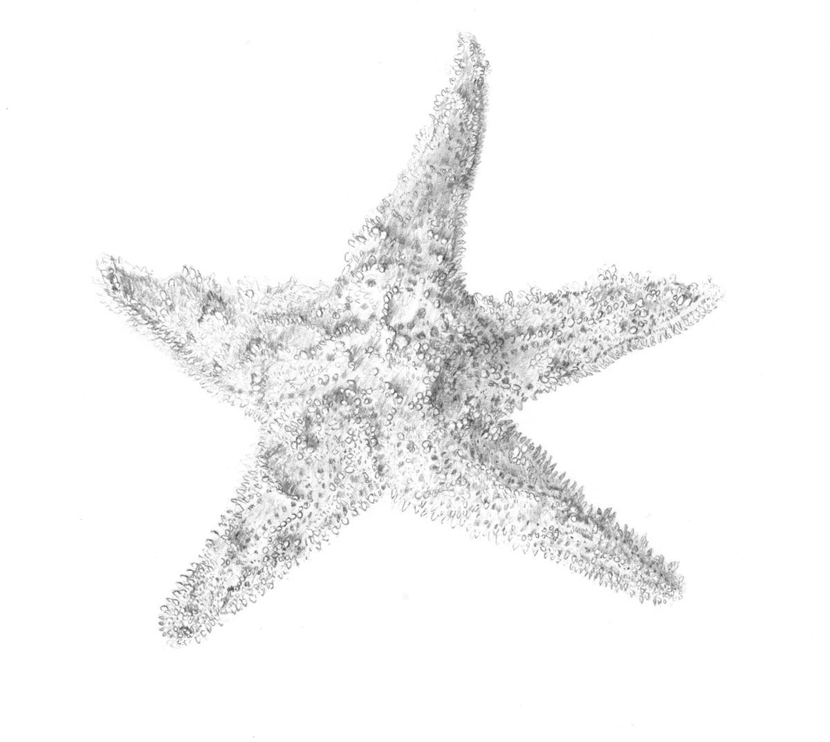 Uncategorized Star Fish Drawing how to draw starfish 2007 graphite on paper crafts paper