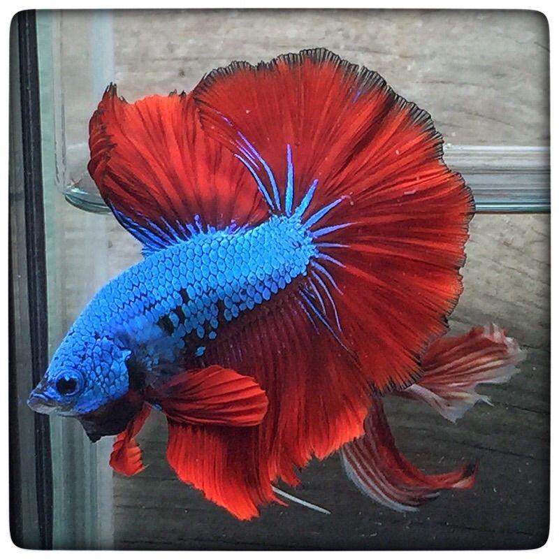 AquaBid.com -  The Best red dragons(1287)