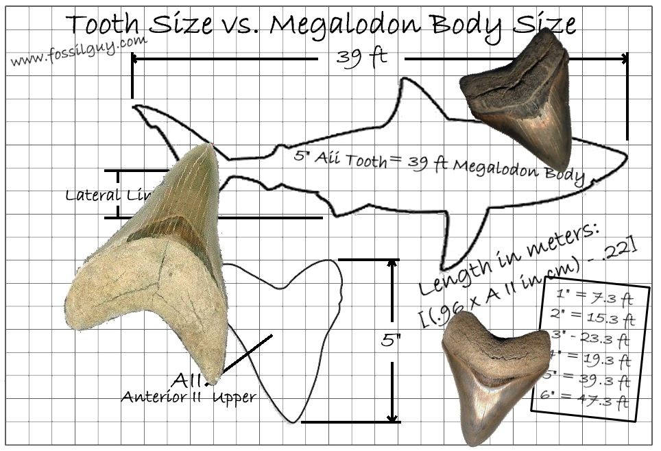Body Size Comparison