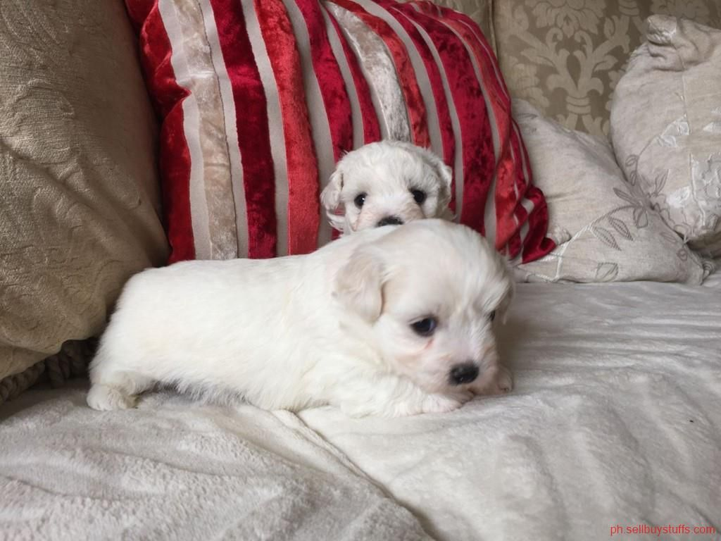 OtherBusiness Puppies, Teacup maltese, Maltese