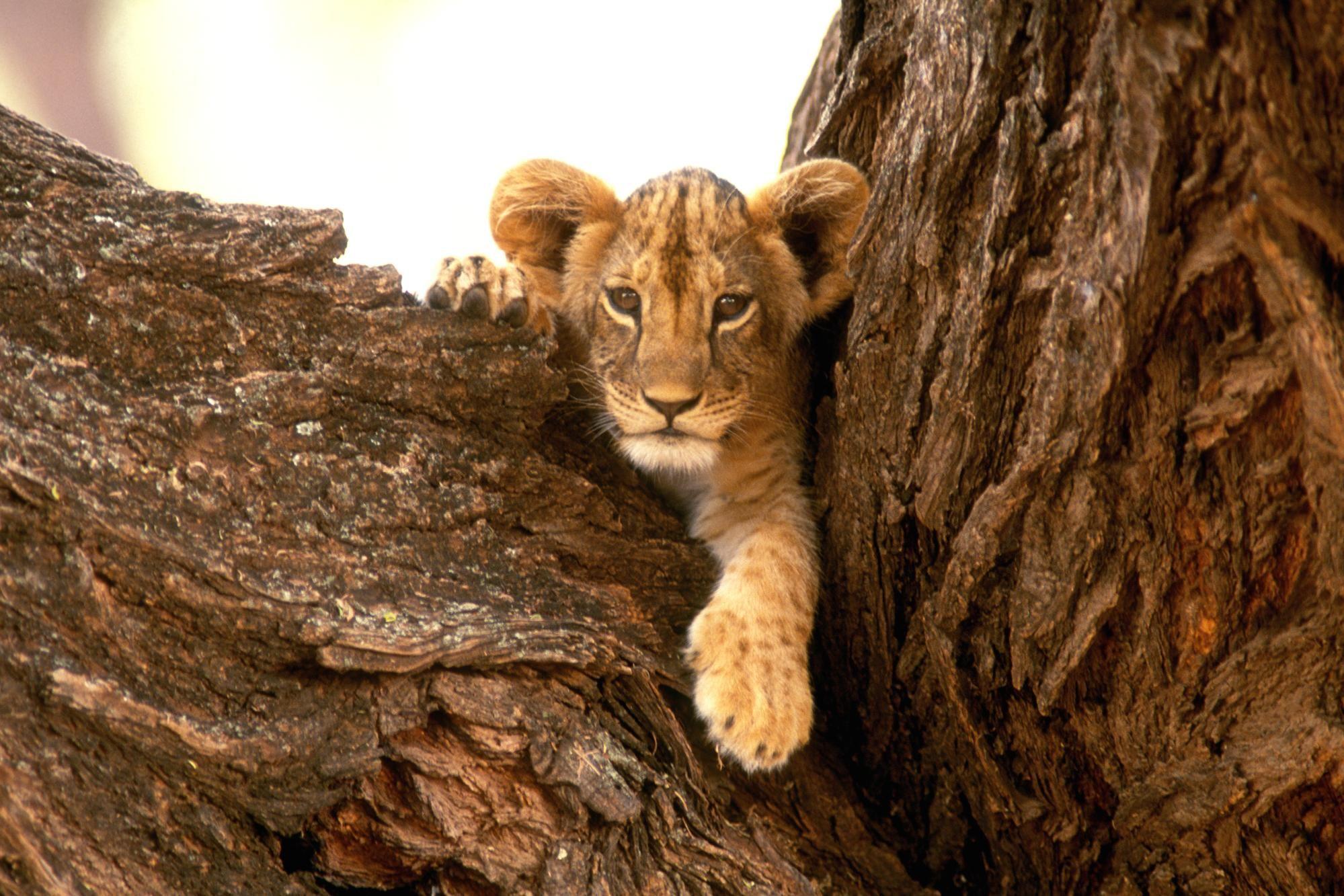 Lions Pictures Download Baby Lions Wallpaper A Furry Friend Lion