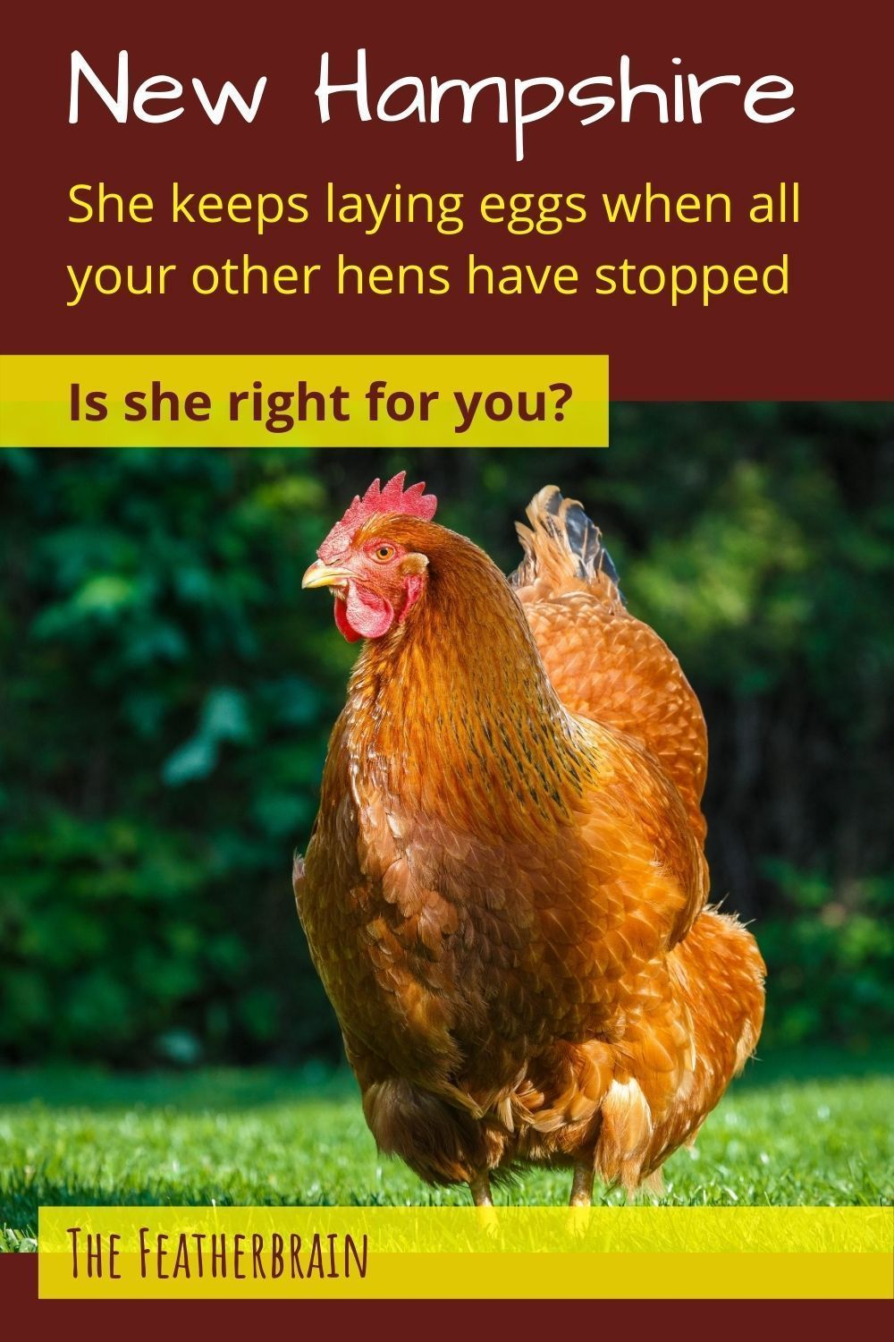 Considering New Hampshire chickens? The 18 things