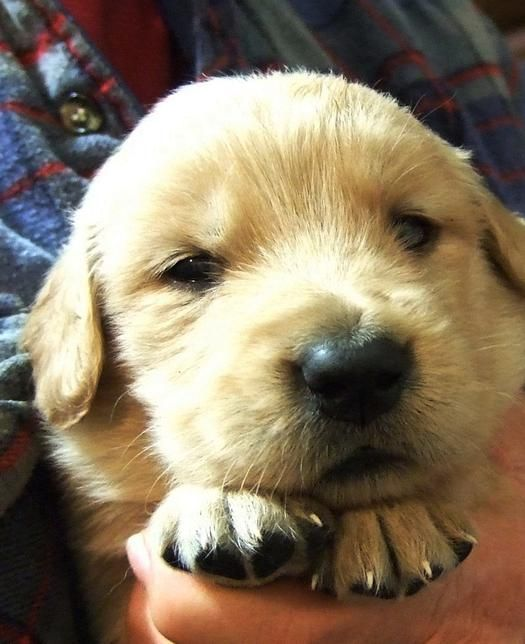 Barbsgoldens Akc Golden Retriever Puppies For Sale Georgia