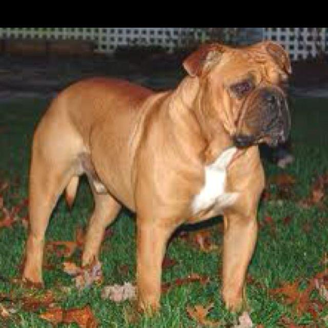 Old English Bulldog Love Them Olde English Bulldogge Super Cute Animals Pets