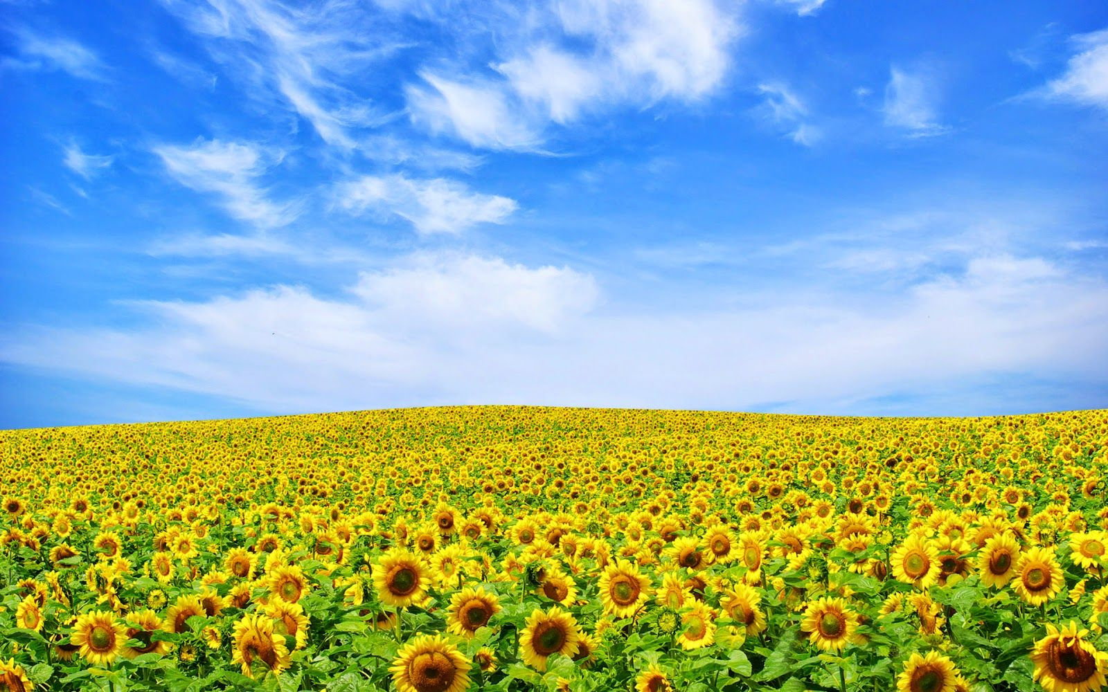 Picture Of Sunflower Landscape Yellow Flower Wallpaper Landscape Sunflower Wallpaper