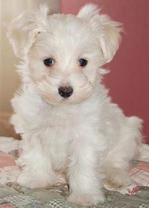 We Re Looking For A Furbaby Maltipoo Maltipoo Dog Cute Animal