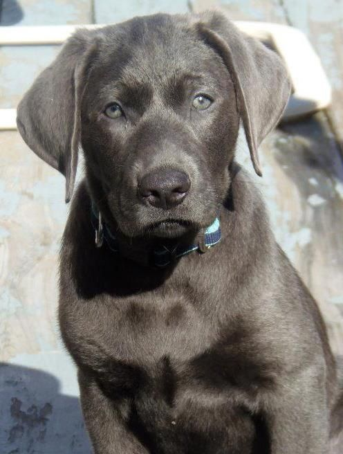 Grayson my charcoal lab puppy enjoying the sun. (With
