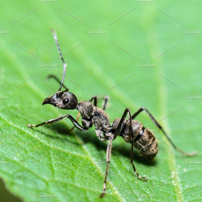 Black Carpenter Ant With Images Black Carpenter Ants