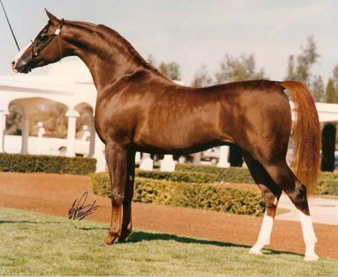 15.3 hand Champion Stallion Explodent, Sire of Stallion IIWP Solstar