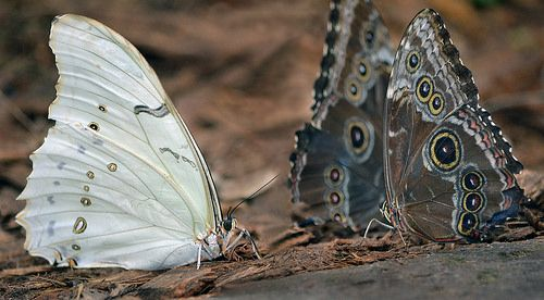 White shadow | A White Morpho admires the deep suntans of tw… | Flickr